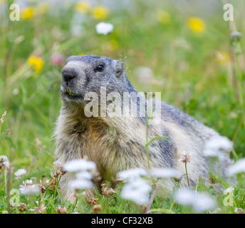 groundhog on alpine flower meadow in summer in Valais, Switzerland - Stock Photo