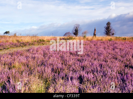 Beautiful light falls on heather in bloom, paths across heathland hills in summer Cannock Chase Country Park AONB - Stock Photo