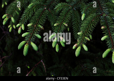 Close-up of the foliage seed cones of a Sitka Spruce (Picea sitchensis). - Stock Photo