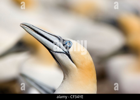 Northern Gannet (Morus bassanus), the largest member of the gannet family on The Bass Rock (The Bass), a volcanic rock in the Fi Stock Photo