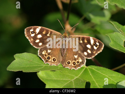 Speckled Wood Butterfly, Pararge aegeria, Nymphalidae. British Wildlife, Insect. - Stock Photo