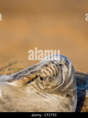 Close-up of a grey seal (Halichoerus grypus) at Donna Nook in Lincolnshire. - Stock Photo