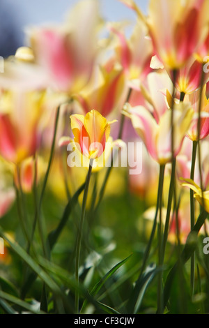 Tulips In A Field At Wooden Shoe Tulip Farm; Woodburn Oregon United States Of America - Stock Photo