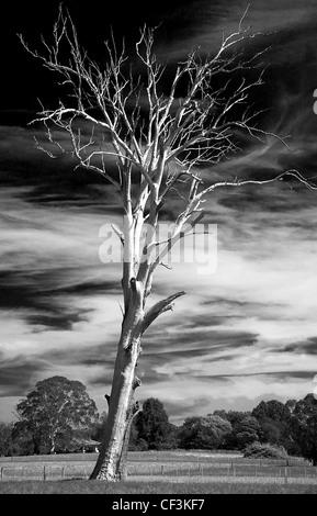 dead gum tree - Stock Photo