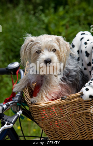 Yorkshire terrier / Yorkie (Canis lupus familiaris) going for a ride in basket on bicycle - Stock Photo