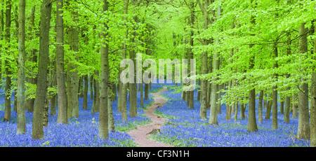 Path cutting through Bluebells in Dockey Woods on the Hertfordshire/ Buckinghamshire border. - Stock Photo