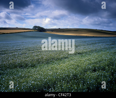 Patches of sunlight fall across an undulating field of Linseed. - Stock Photo