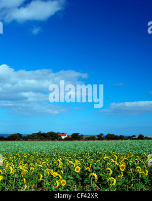 View across a field of sunflowers towards an isolated cottage on the North Yorkshire Coast. - Stock Photo