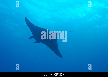 Giant manta ray (Manta birostris), Wolf Island, Galapagos Islands, Ecuador - Stock Photo