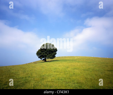 Sheep grazing on a hillside with a lone tree. - Stock Photo