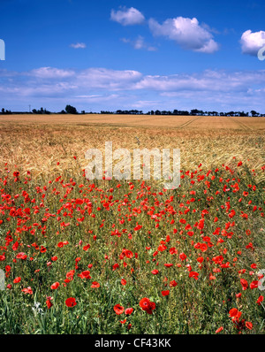 Wild poppies bordering a field of barley. - Stock Photo