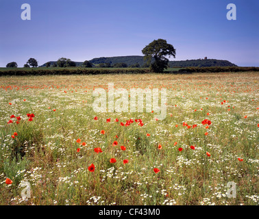 View over wild Poppies growing in a meadow towards Peckforton Castle. - Stock Photo
