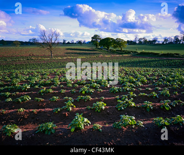 View across a fertile field of crops in rural Cheshire. - Stock Photo