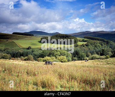 Cattle grazing on the rolling hills and fields of south-west Scotland. - Stock Photo