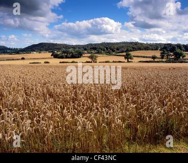 A field of ripening wheat near Bulkeley. - Stock Photo