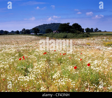 View over wild Poppies growing in a meadow towards the Peckforton Hills.
