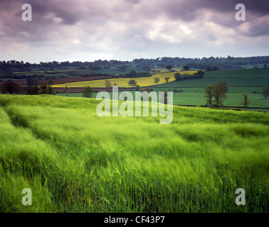 Looking across a field of swaying barley in the Sussex Downs. - Stock Photo