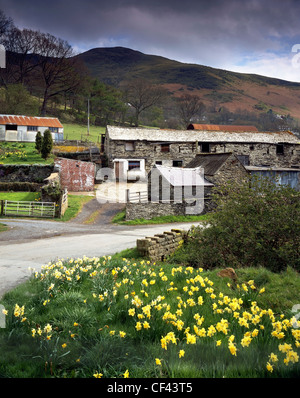 Daffodils bloom by the side of a small country lane and old farm buildings in a remote valley in North Wales. - Stock Photo