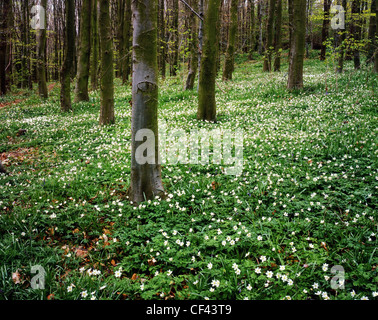 Wildflowers bloom in woodland in North Wales. - Stock Photo