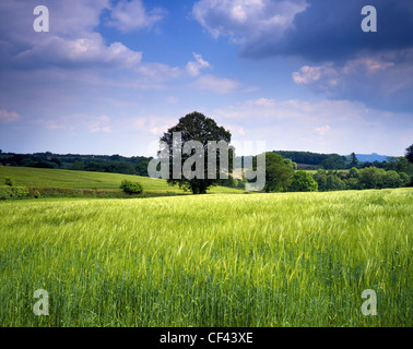 View across a fertile field of wheat early in the growing season towards wooded hills in rural Herefordshire. - Stock Photo