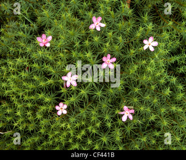 Wild flowers emerge to decorate a patch of green moss. - Stock Photo