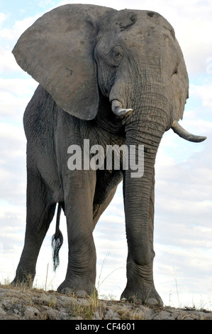 Old African male elephant approaching river. - Stock Photo