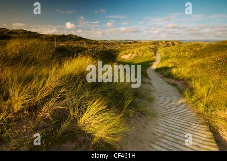 Wind blowing long grasses beside a wooden boardwalk amongst Braunton Burrows dunes on the North Devon coast. - Stock Photo