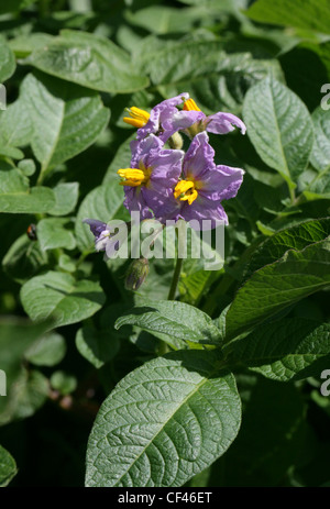 Potato Flowers, Solanum tuberosum, Solanaceae. Originally from the Andes, South America. - Stock Photo