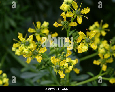 Common or Garden Rue, Ruta graveolens, Rutaceae. Aka Herb of Grace, Herbygrass, Meadow Rue, Ruda, Rue, Weinkraut. - Stock Photo