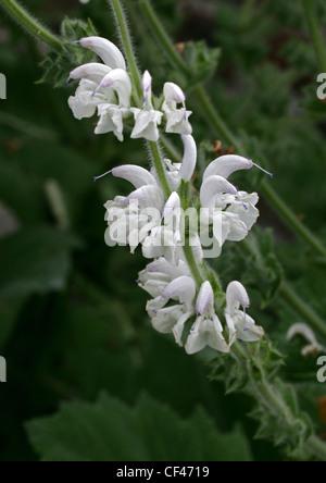 Silver Sage, Silver Salvia, Silver Clary, Salvia argentea, Lamiaceae (Labiatae). Mediterranean - Stock Photo