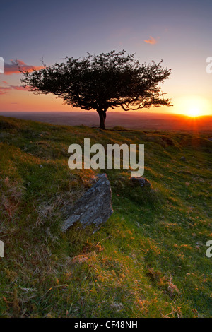 Atmospheric sunset over a lone tree at Peek Hill on Dartmoor. - Stock Photo