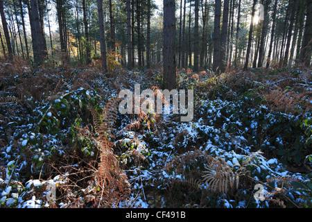 Sunrise through frosty woodland, New Forest National Park, Hampshire, England; Britain; UK - Stock Photo