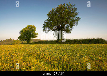 Early morning summer breeze blowing barley in a field in the Devonshire countryside. - Stock Photo