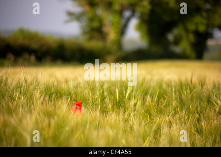 A single red poppy amongst barley swaying in an early morning summer breeze in the Devonshire countryside. - Stock Photo