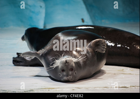 A bearded seal in the Polaria Museum & Aquarium in Tromso, Norway - Stock Photo