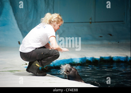 A bearded seal being trained and fed by a woman in the Polaria Museum & Aquarium in Tromso, Norway - Stock Photo