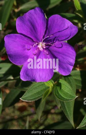Princess Flower a.k.a. Glory Bush Tibouchina urvilleana that is native to Brazil - Stock Photo