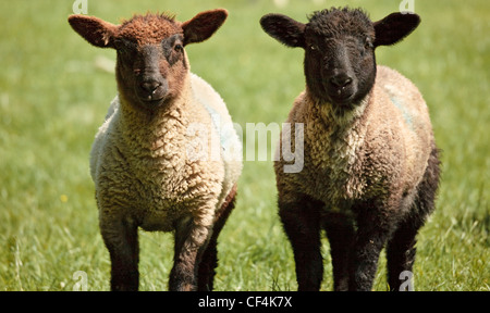 Two lambs standing side by side. - Stock Photo