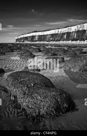Seaweed covered mound on Hunstanton beach by its stratified, fossiliferous cliffs. - Stock Photo