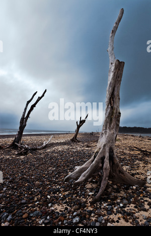 The remains of three old oak trees still standing on Benacre beach in Suffolk. - Stock Photo