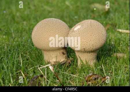 Common puffball or devils tobacco pouch (Lycoperdon perlatum) fruiting bodies in a grass lawn - Stock Photo