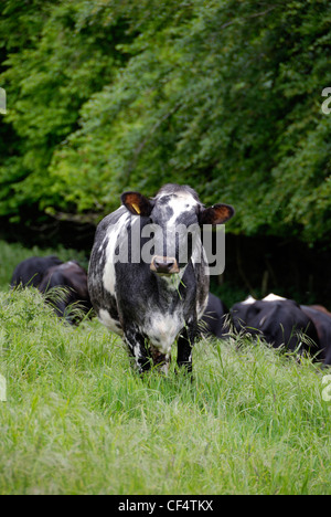 A Holstein cow in a field. - Stock Photo