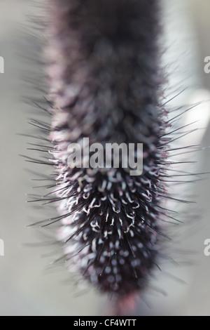 inflorescence bristle grass gray, close-up, macro