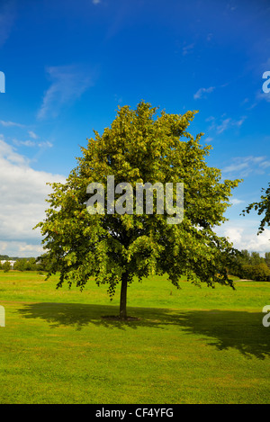 Beautiful young lime tree (tilia) over blue sky on a field and his shadow. - Stock Photo