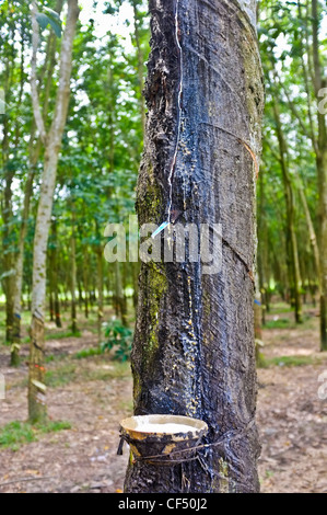 Sap being collected from rubber tree, Vietnam - Stock Photo