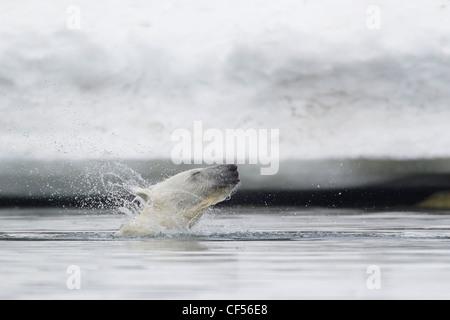 Europe, Norway, Svalbard, Polar bear shaking fur in water - Stock Photo