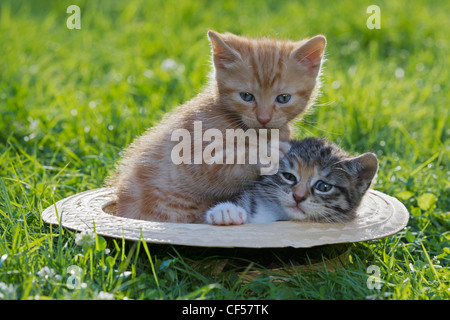 Germany, Kittens sitting in hat, close up - Stock Photo