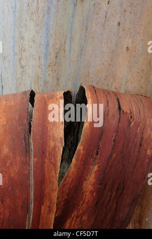 Eucalyptus tree trunk and bark - Stock Photo