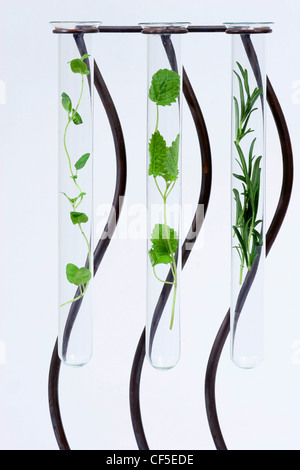 A glass test tubes filled with fresh herbs, with thyme, lemon balm and rosemary - Stock Photo