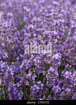 Lavender growing at Lordington Lavender Farm. - Stock Photo